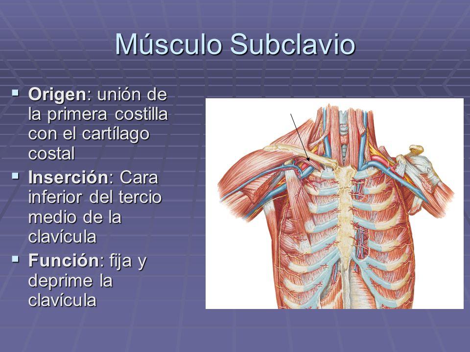 Músculo Subclavio Origen: unión de la primera costilla con el cartílago costal. Inserción: Cara inferior del tercio medio de la clavícula.
