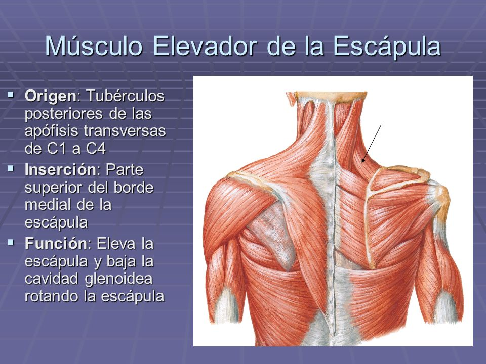 Músculo Elevador de la Escápula