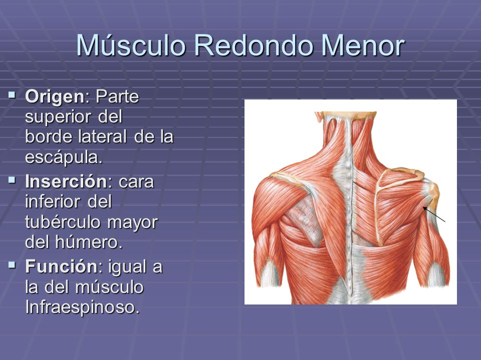 Músculo Redondo MenorOrigen: Parte superior del borde lateral de la escápula. Inserción: cara inferior del tubérculo mayor del húmero.