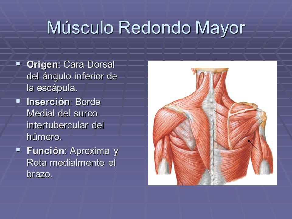 Músculo Redondo MayorOrigen: Cara Dorsal del ángulo inferior de la escápula. Inserción: Borde Medial del surco intertubercular del húmero.