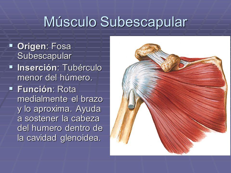Músculo Subescapular Origen: Fosa Subescapular