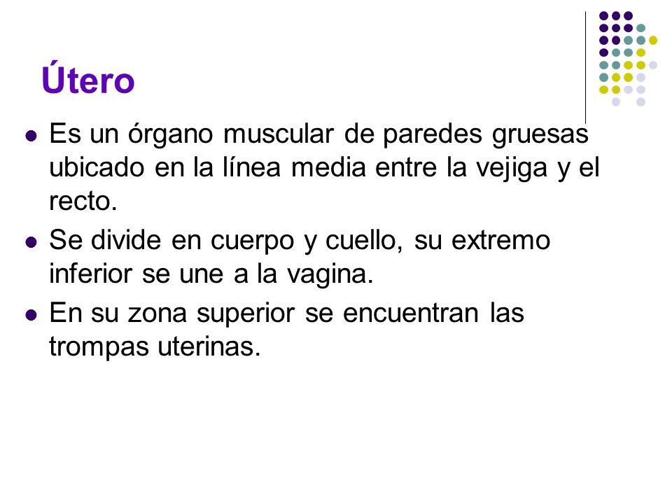 Útero Es un órgano muscular de paredes gruesas ubicado en la línea media entre la vejiga y el recto.