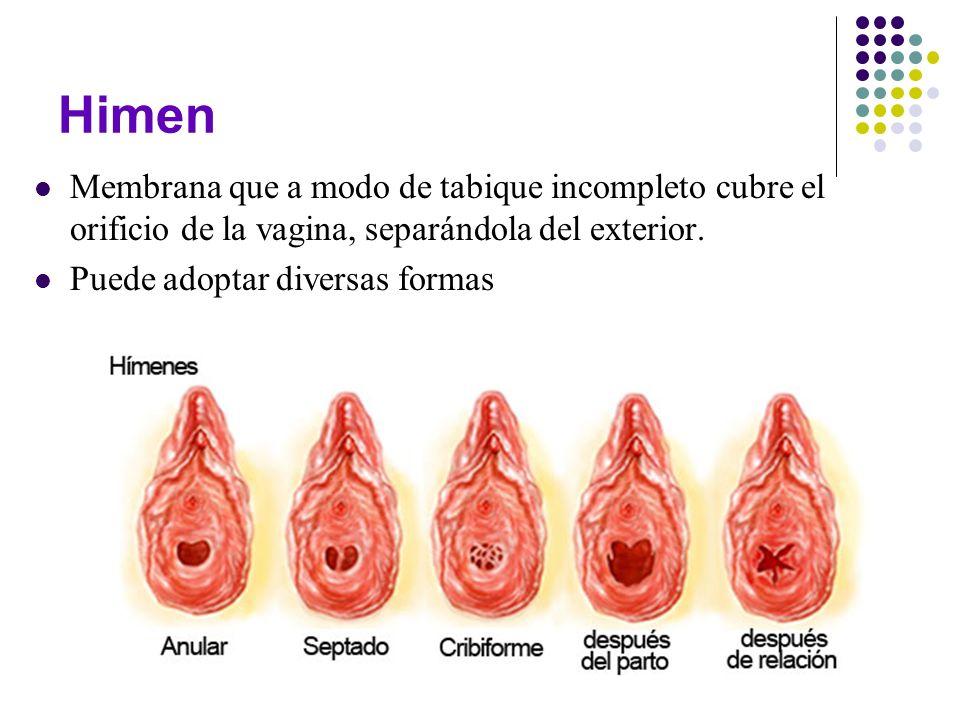 HimenMembrana que a modo de tabique incompleto cubre el orificio de la vagina, separándola del exterior.