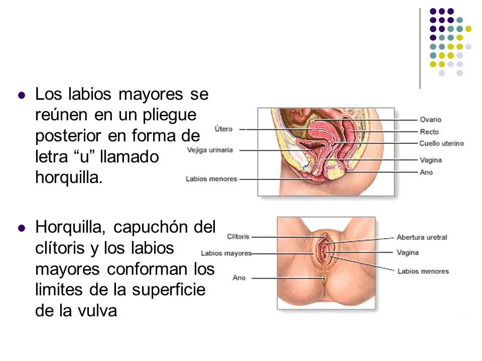 Los labios mayores se reúnen en un pliegue posterior en forma de letra u llamado horquilla.