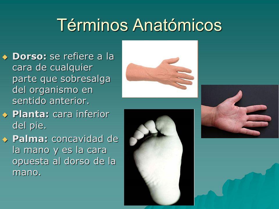 Términos Anatómicos Dorso: se refiere a la cara de cualquier parte que sobresalga del organismo en sentido anterior.