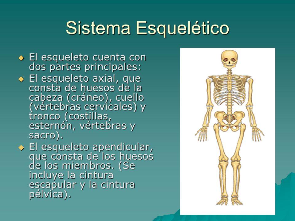 Sistema Esquelético El esqueleto cuenta con dos partes principales: