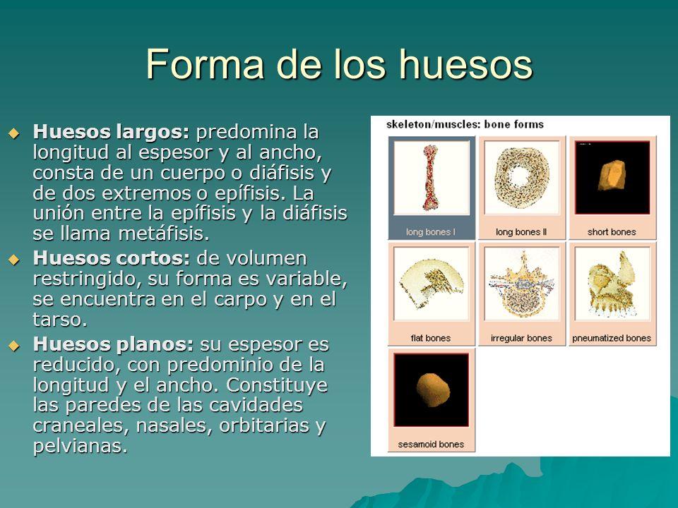 Forma de los huesos