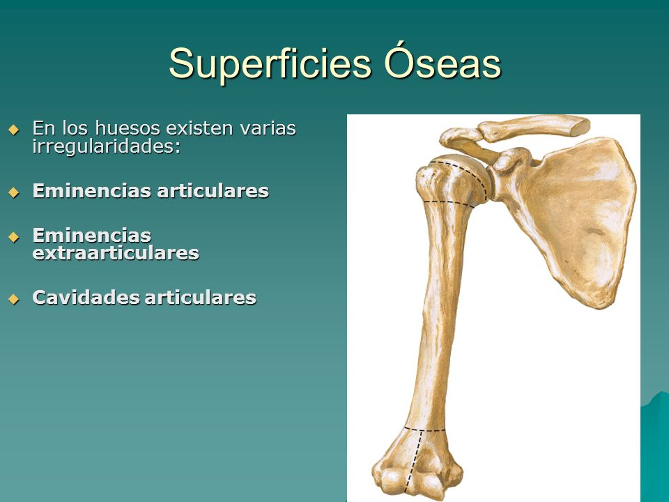 Superficies Óseas En los huesos existen varias irregularidades: