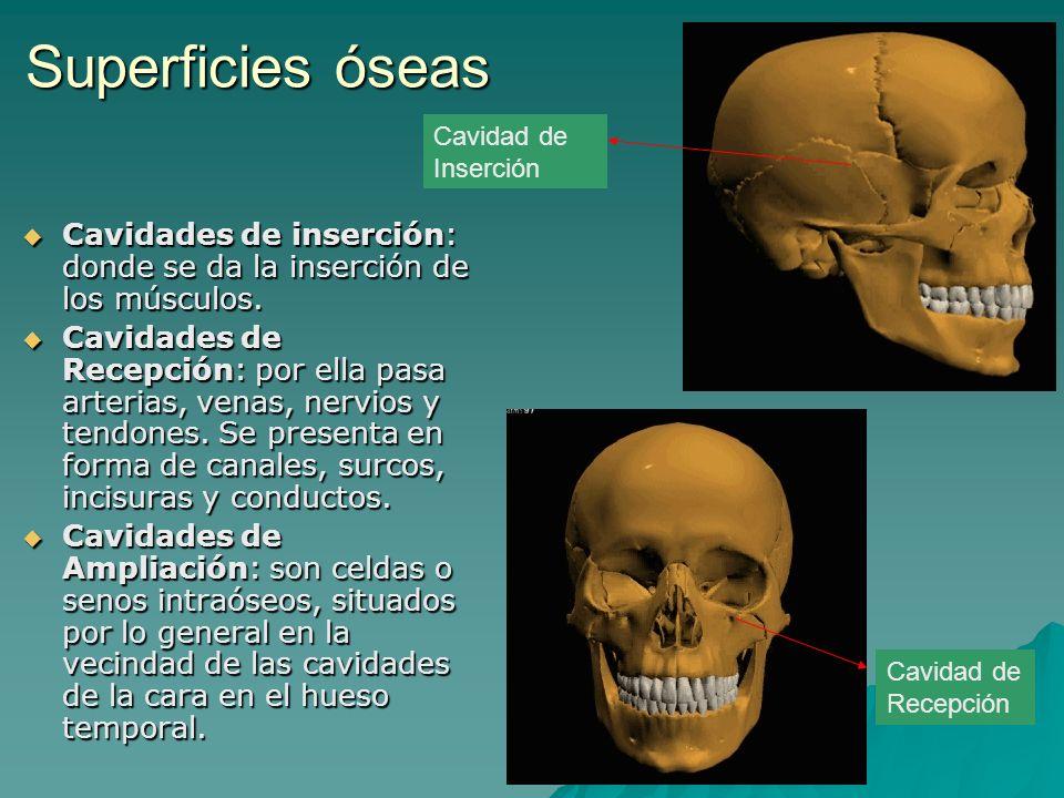 Superficies óseas Cavidad de Inserción. Cavidades de inserción: donde se da la inserción de los músculos.