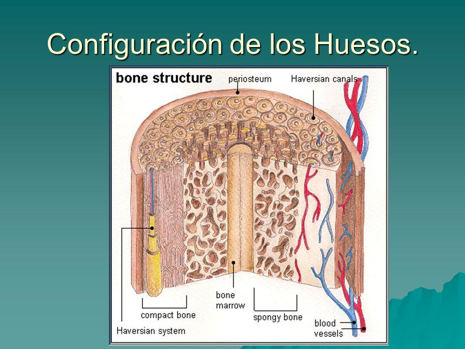 Configuración de los Huesos.