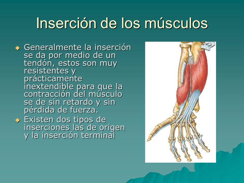 Inserción de los músculos