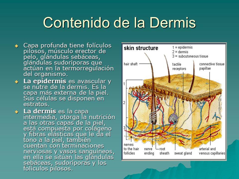 Contenido de la Dermis