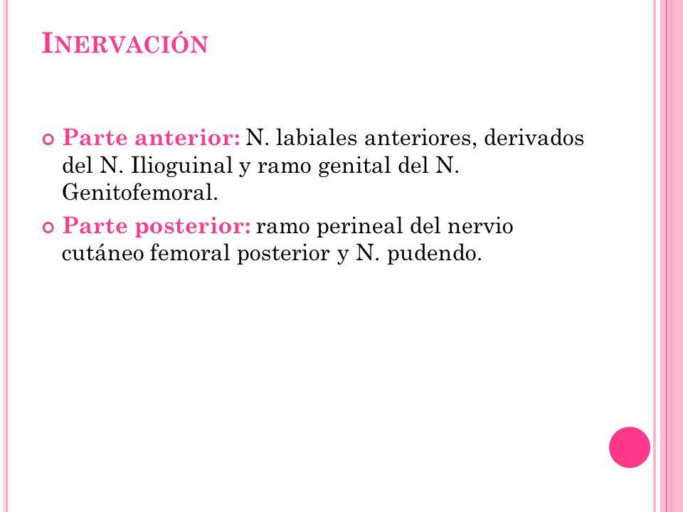Inervación Parte anterior: N. labiales anteriores, derivados del N. Ilioguinal y ramo genital del N. Genitofemoral.