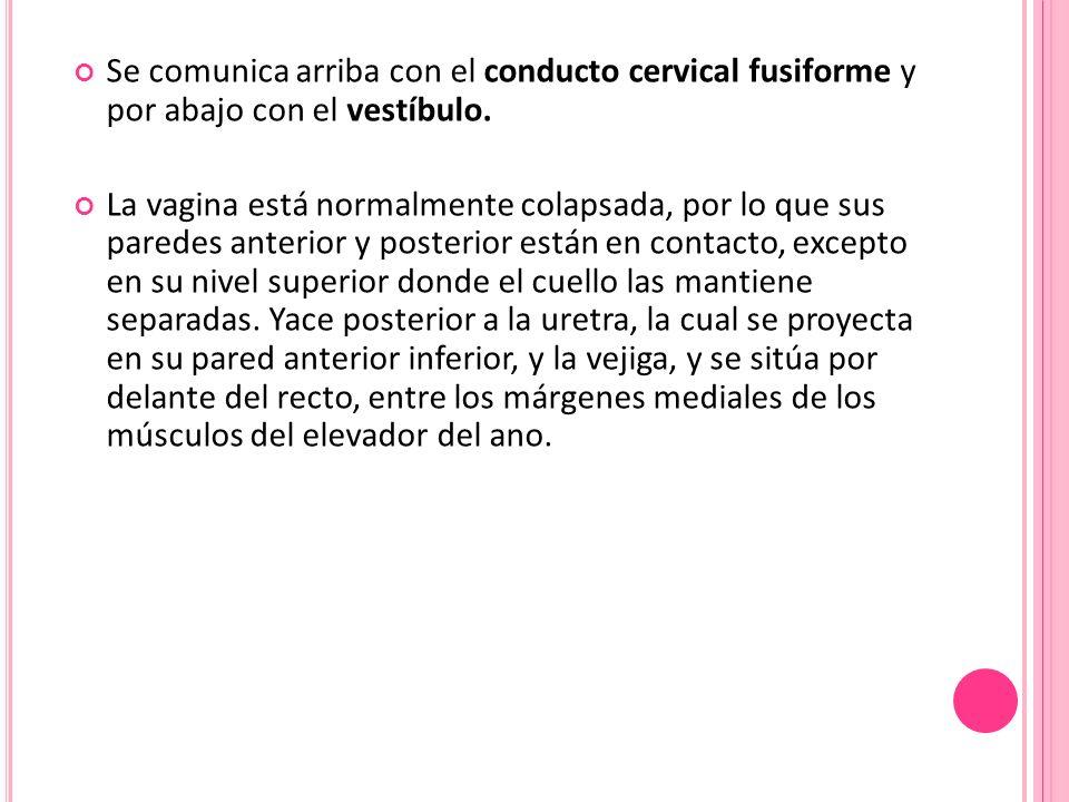 Se comunica arriba con el conducto cervical fusiforme y por abajo con el vestíbulo.