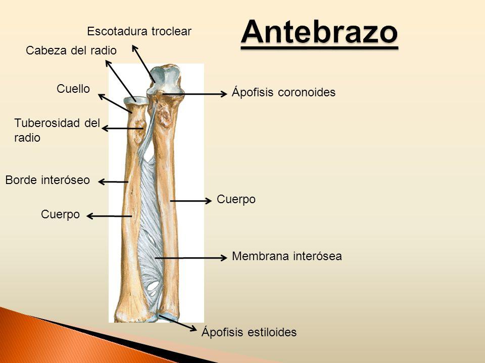 Antebrazo Escotadura troclear Cabeza del radio Cuello