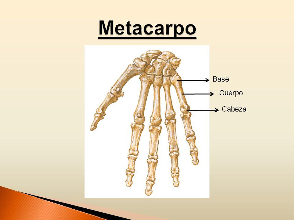 Metacarpo Base Cuerpo Cabeza