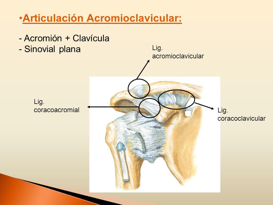 Articulación Acromioclavicular:
