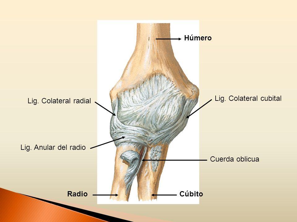HúmeroLig.Colateral cubital. Lig. Colateral radial.
