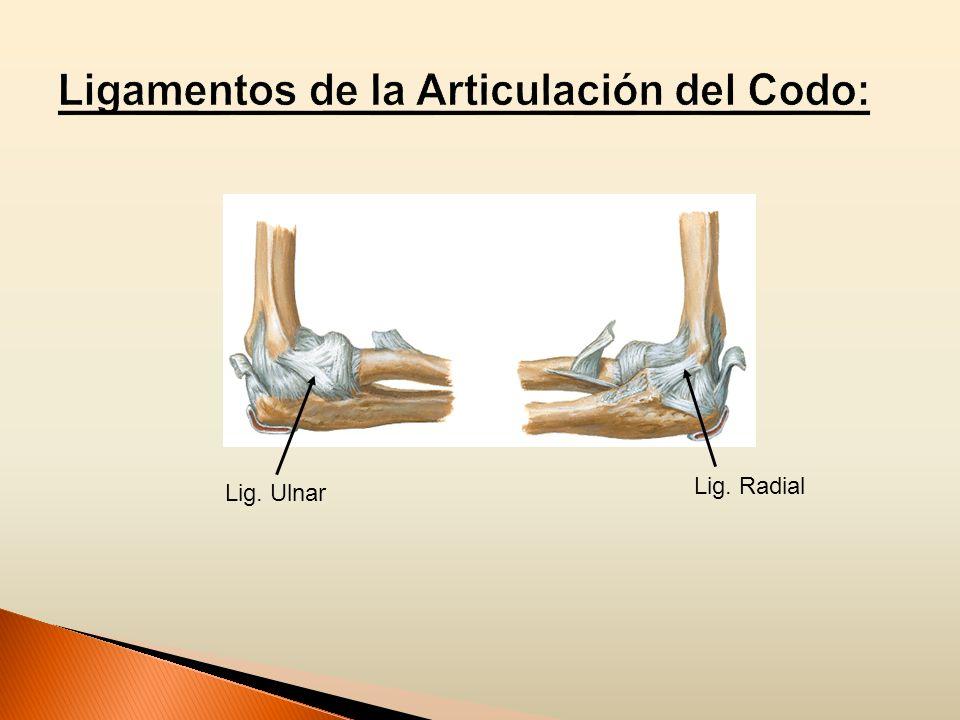 Ligamentos de la Articulación del Codo: