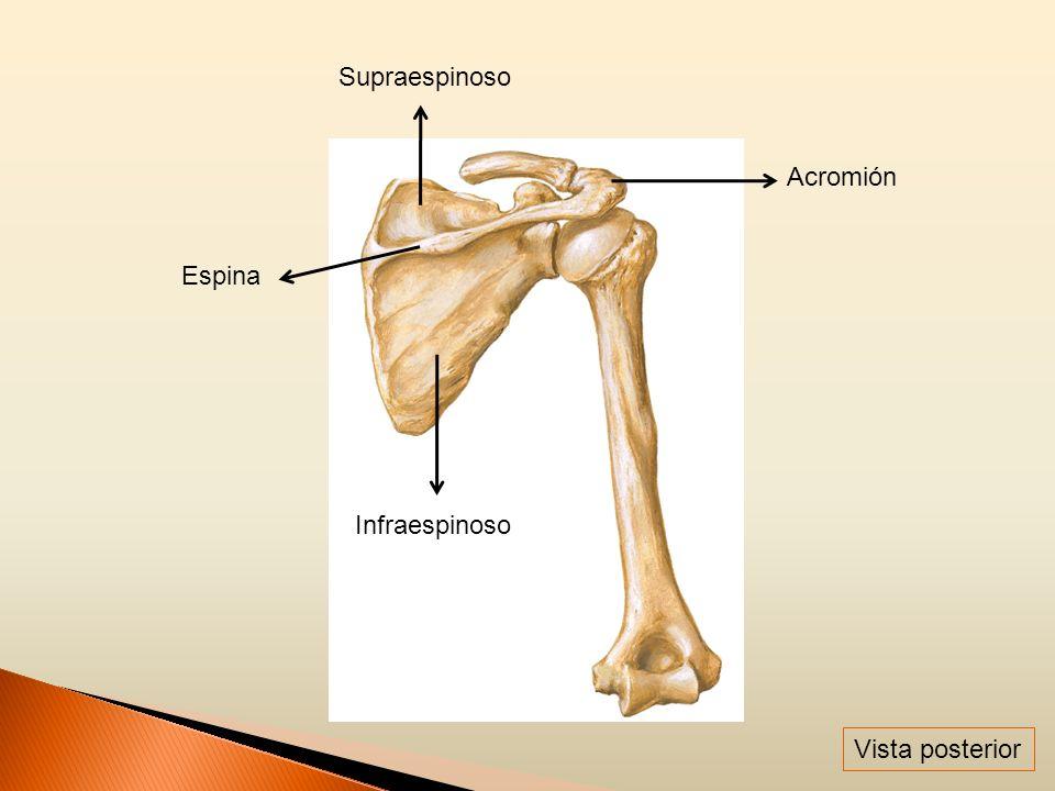 Supraespinoso Acromión Espina Infraespinoso Vista posterior