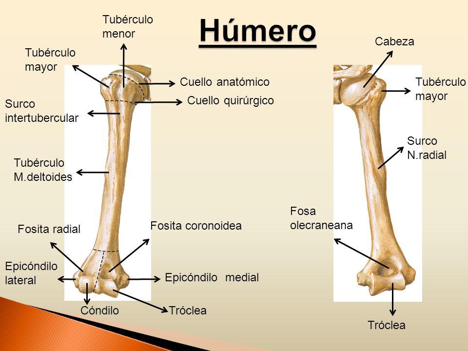 Húmero Tubérculo menor Cabeza Tubérculo mayor Cuello anatómico