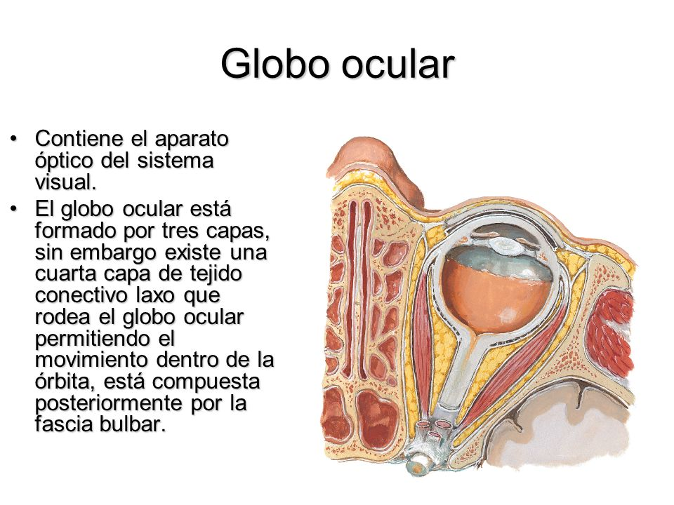 Globo ocular Contiene el aparato óptico del sistema visual.