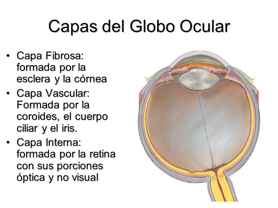 Capas del Globo Ocular Capa Fibrosa: formada por la esclera y la córnea. Capa Vascular: Formada por la coroides, el cuerpo ciliar y el iris.