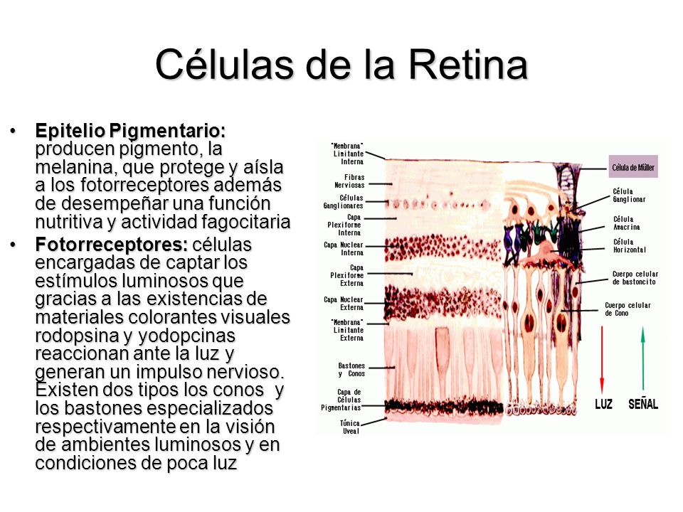 Células de la Retina