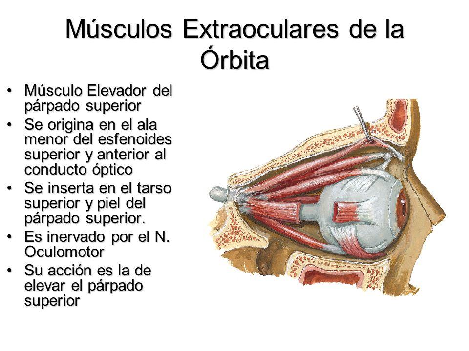Músculos Extraoculares de la Órbita