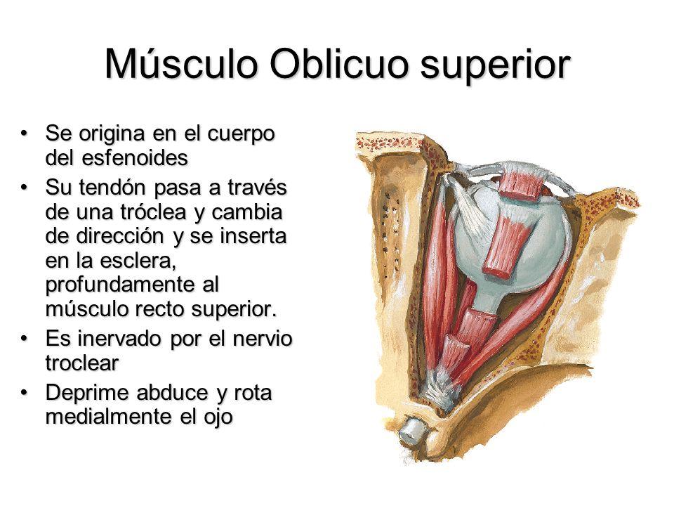 Músculo Oblicuo superior