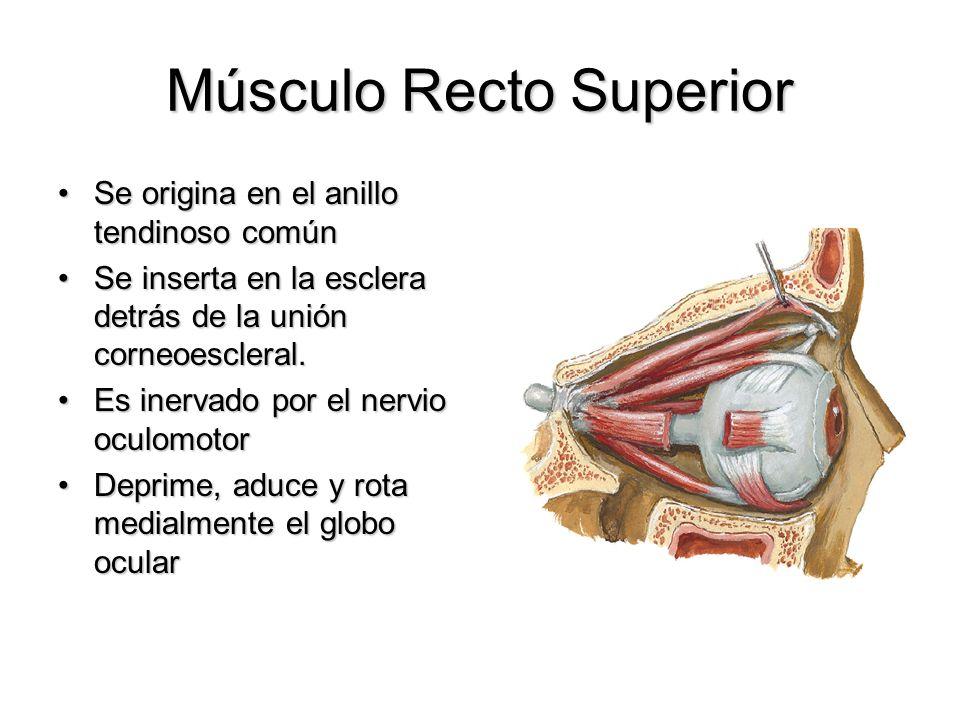 Músculo Recto Superior