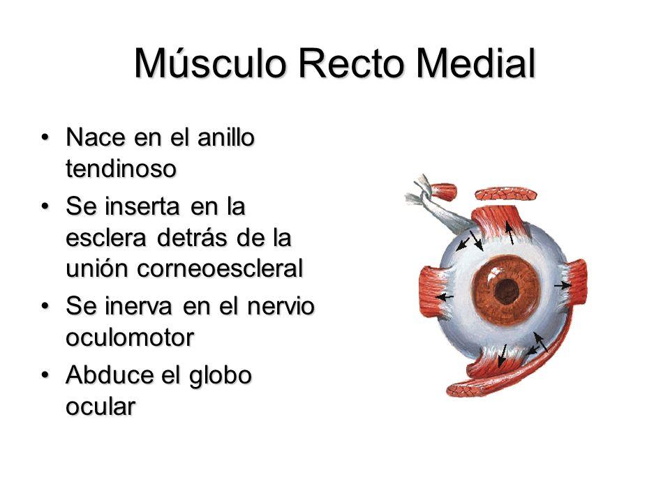 Músculo Recto Medial Nace en el anillo tendinoso
