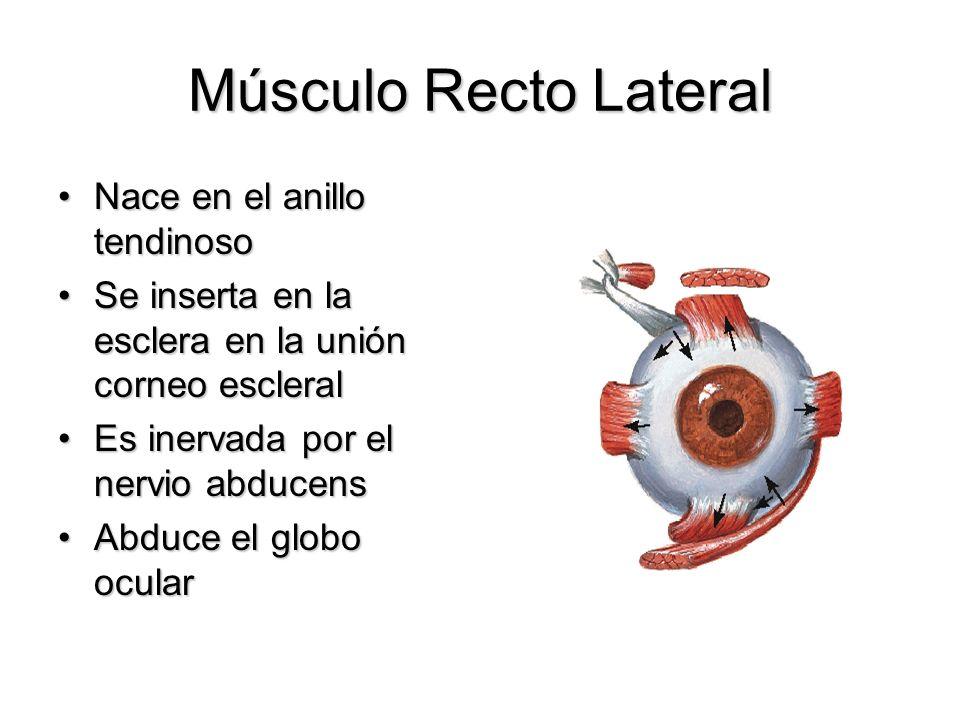 Músculo Recto Lateral Nace en el anillo tendinoso