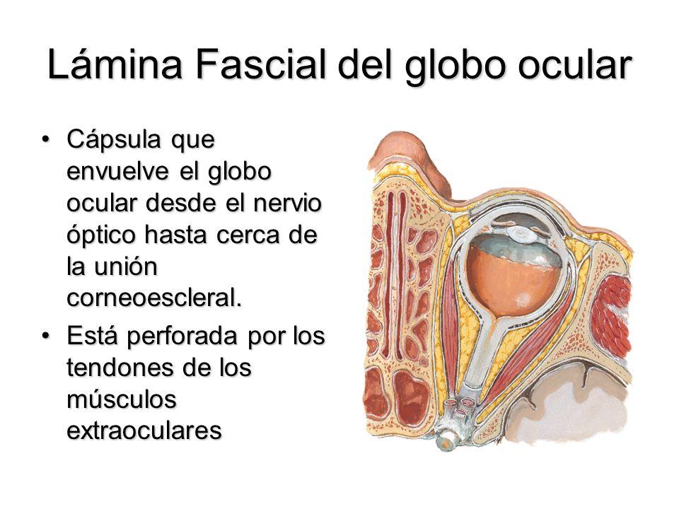 Lámina Fascial del globo ocular