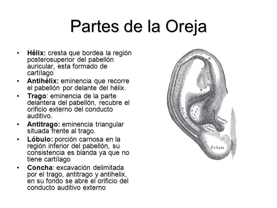 Partes de la OrejaHélix: cresta que bordea la región posterosuperior del pabellón auricular, esta formado de cartílago.