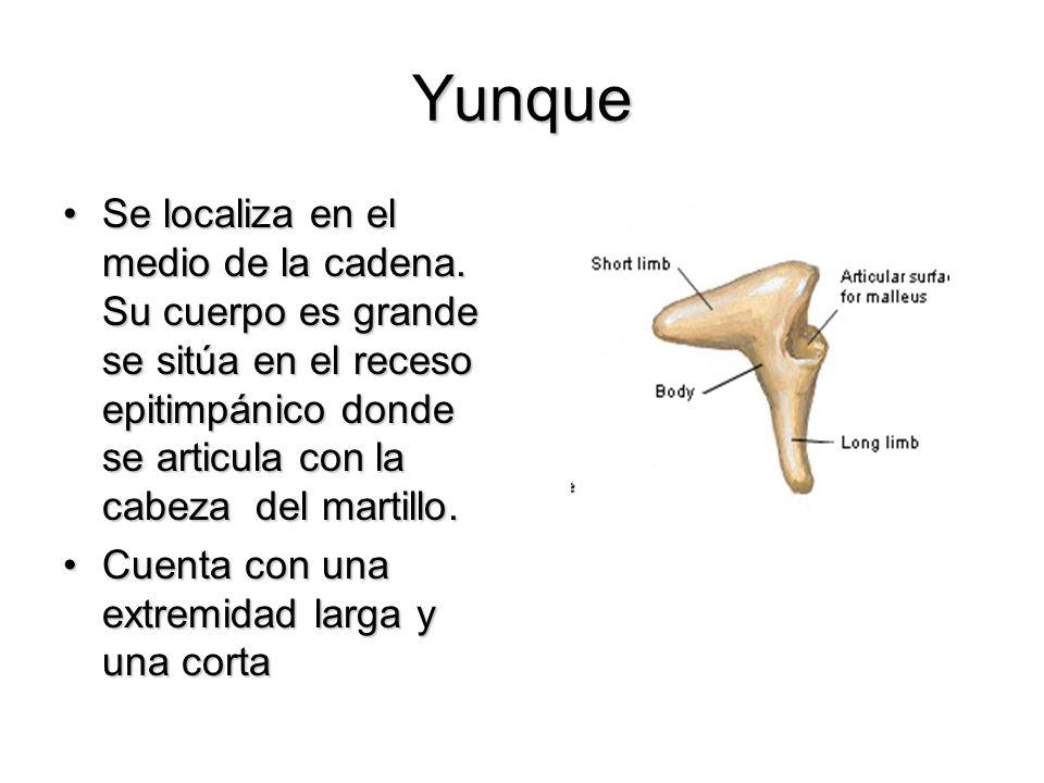Yunque Se localiza en el medio de la cadena. Su cuerpo es grande se sitúa en el receso epitimpánico donde se articula con la cabeza del martillo.