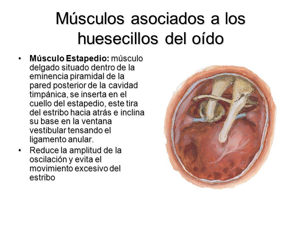 Músculos asociados a los huesecillos del oído