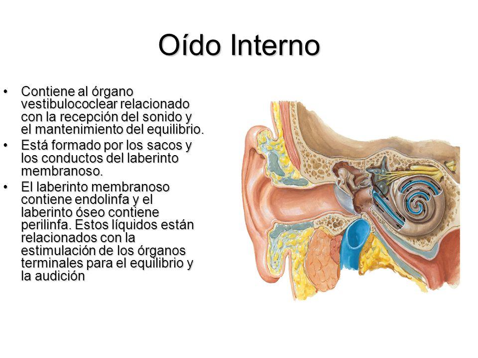 Oído Interno Contiene al órgano vestibulococlear relacionado con la recepción del sonido y el mantenimiento del equilibrio.