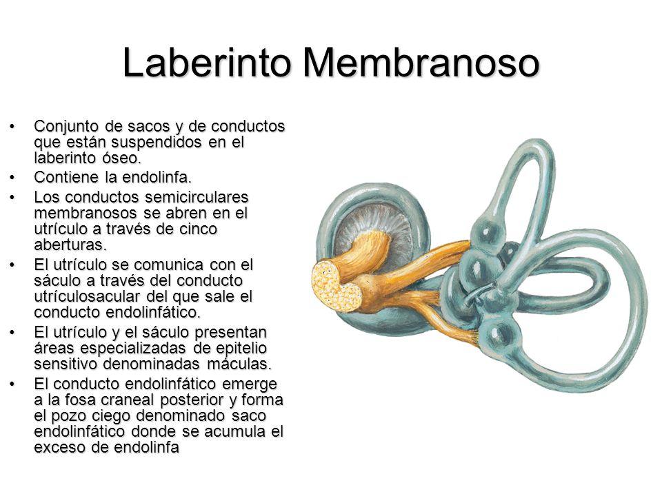 Laberinto Membranoso Conjunto de sacos y de conductos que están suspendidos en el laberinto óseo. Contiene la endolinfa.