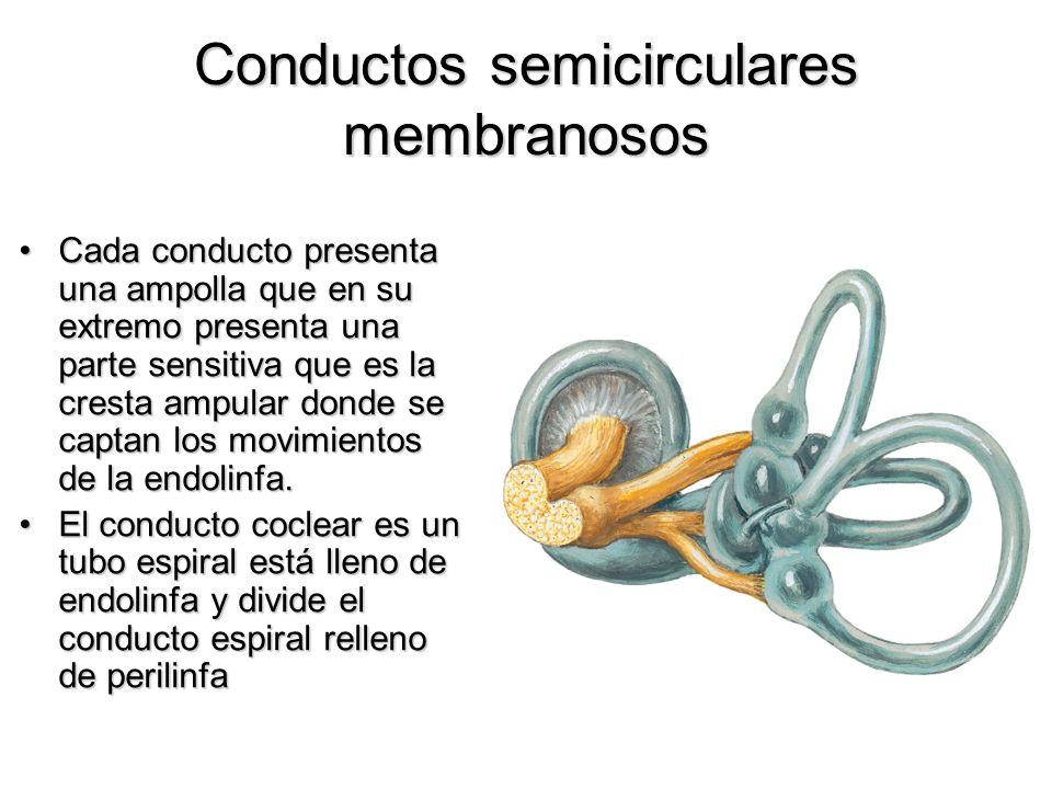 Conductos semicirculares membranosos