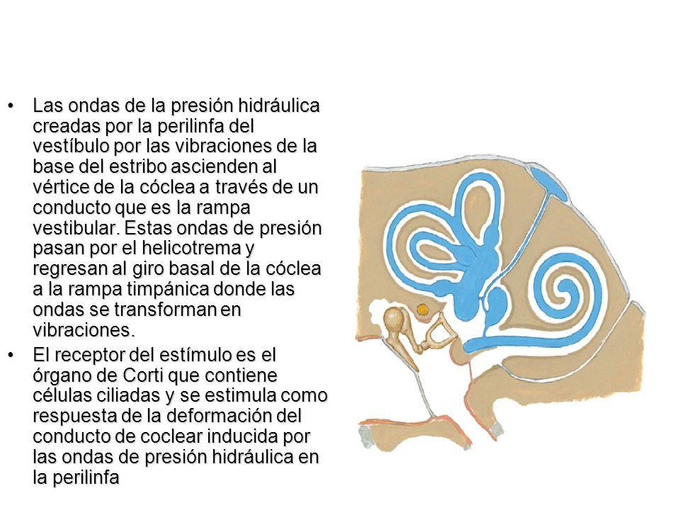 Las ondas de la presión hidráulica creadas por la perilinfa del vestíbulo por las vibraciones de la base del estribo ascienden al vértice de la cóclea a través de un conducto que es la rampa vestibular. Estas ondas de presión pasan por el helicotrema y regresan al giro basal de la cóclea a la rampa timpánica donde las ondas se transforman en vibraciones.
