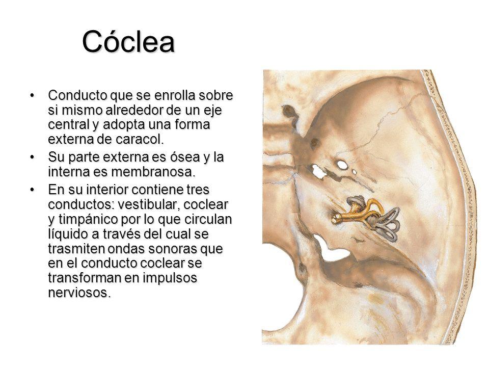 Cóclea Conducto que se enrolla sobre si mismo alrededor de un eje central y adopta una forma externa de caracol.