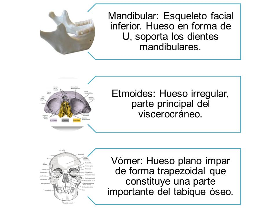 Etmoides: Hueso irregular, parte principal del viscerocráneo.