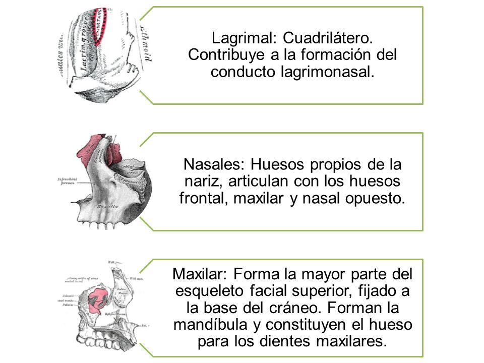 Lagrimal: Cuadrilátero