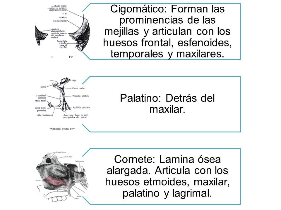 Palatino: Detrás del maxilar.