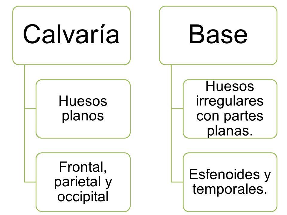 Calvaría Base Huesos irregulares con partes planas. Huesos planos