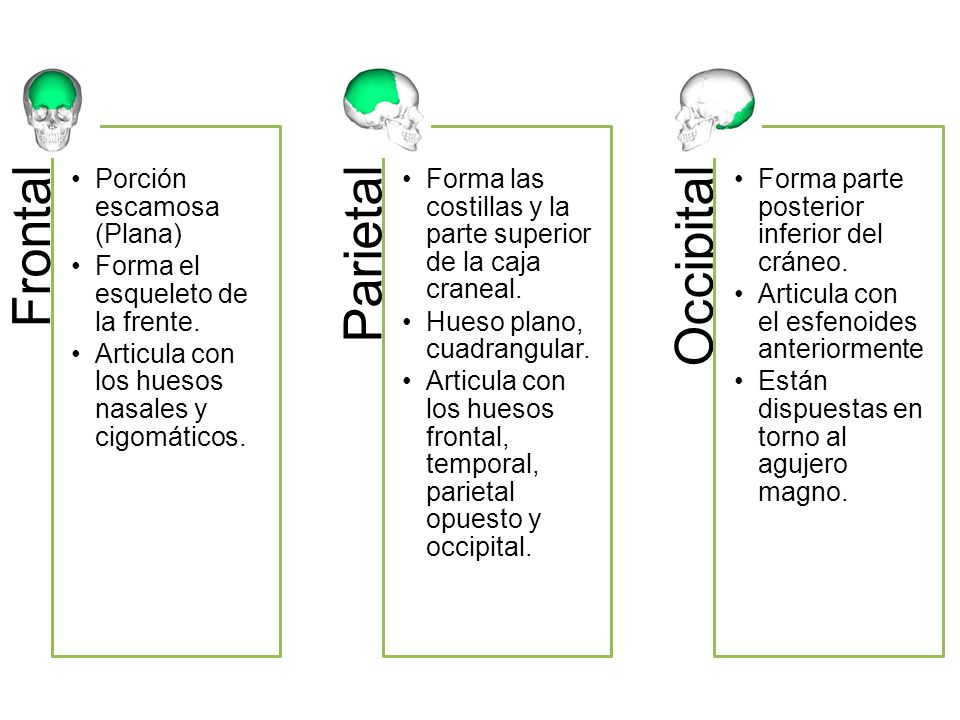 Frontal Parietal Occipital Porción escamosa (Plana)
