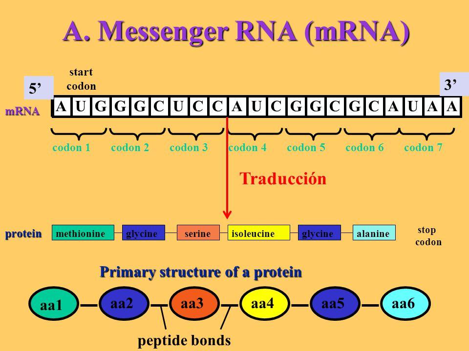 A. Messenger RNA (mRNA) Traducción A U G C 3' 5'
