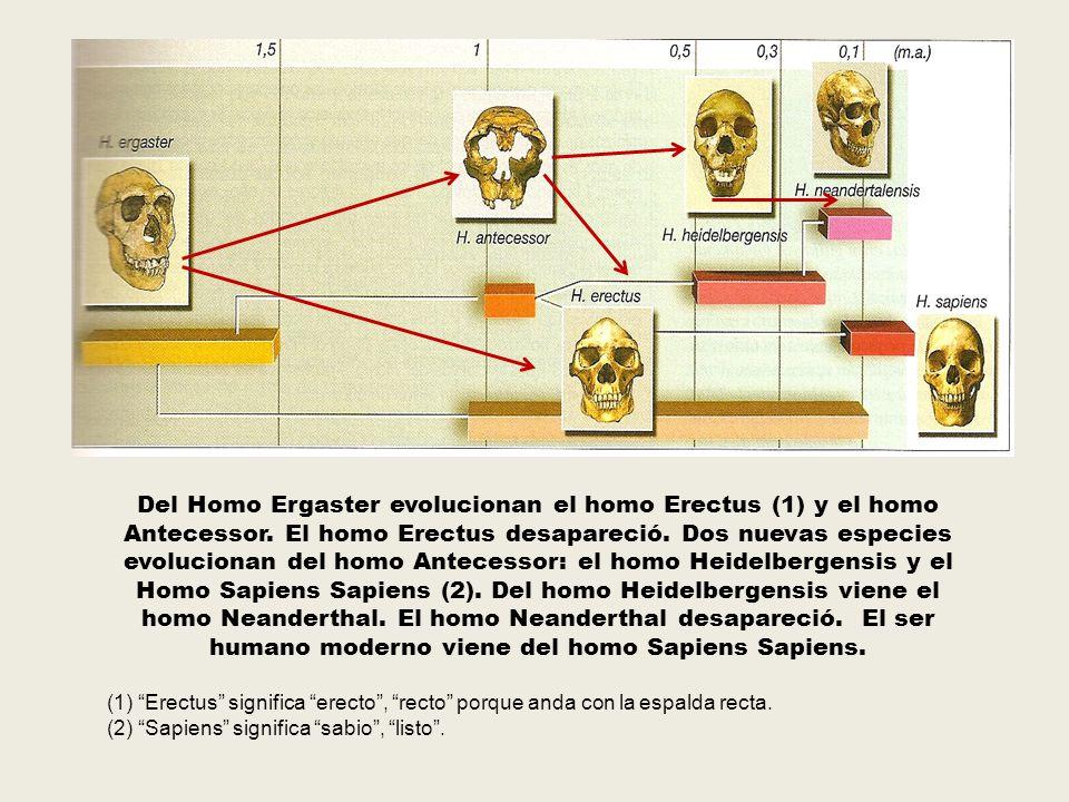 Del Homo Ergaster evolucionan el homo Erectus (1) y el homo Antecessor