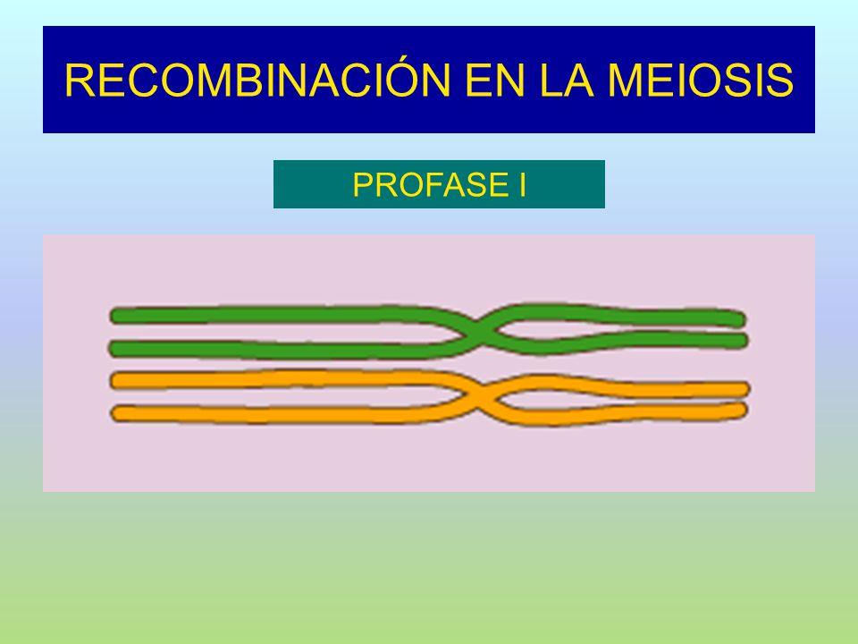 RECOMBINACIÓN EN LA MEIOSIS